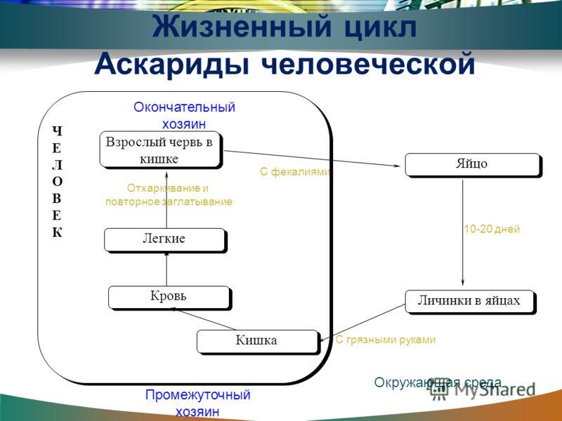 Жизненный цикл аскариды человеческой схема фото 178