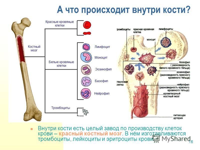 16 А что происходит внутри кости? Внутри кости есть целый завод по производству клеток крови – красный костный мозг. В нём изготавливаются тромбоциты, лейкоциты и эритроциты крови.