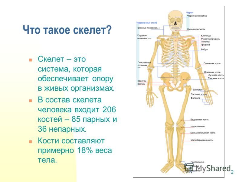 2 Скелет – это система, которая обеспечивает опору в живых организмах. В состав скелета человека входит 206 костей – 85 парных и 36 непарных. Кости составляют примерно 18% веса тела. Что такое скелет?