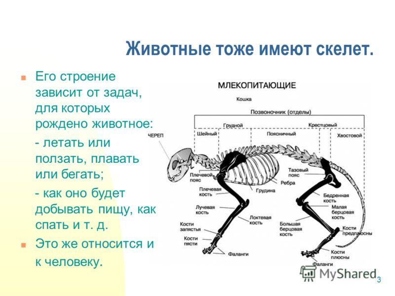 3 Животные тоже имеют скелет. Его строение зависит от задач, для которых рождено животное: - летать или ползать, плавать или бегать; - как оно будет добывать пищу, как спать и т. д. Это же относится и к человеку.