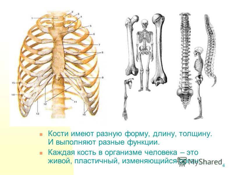 4 Кости имеют разную форму, длину, толщину. И выполняют разные функции. Каждая кость в организме человека – это живой, пластичный, изменяющийся орган.