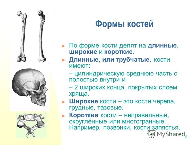 5 Формы костей По форме кости делят на длинные, широкие и короткие. Длинные, или трубчатые, кости имеют: – цилиндрическую среднюю часть с полостью внутри и – 2 широких конца, покрытых слоем хряща. Широкие кости – это кости черепа, грудные, тазовые. К