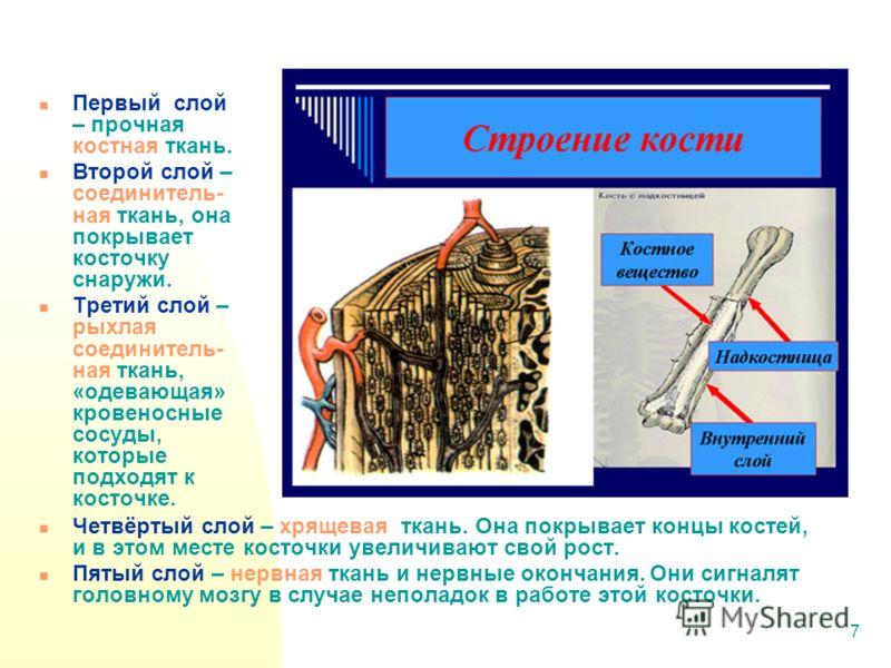 7 Первый слой – прочная костная ткань. Второй слой – соединитель- ная ткань, она покрывает косточку снаружи. Третий слой – рыхлая соединитель- ная ткань, «одевающая» кровеносные сосуды, которые подходят к косточке. Четвёртый слой – хрящевая ткань. Он