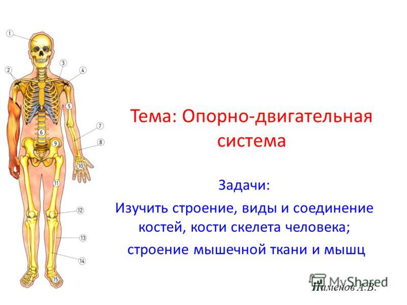 Тема: Опорно-двигательная система Задачи: Изучить строение, виды и соединение костей, кости скелета человека; строение мышечной ткани и мышц Пименов А.В.