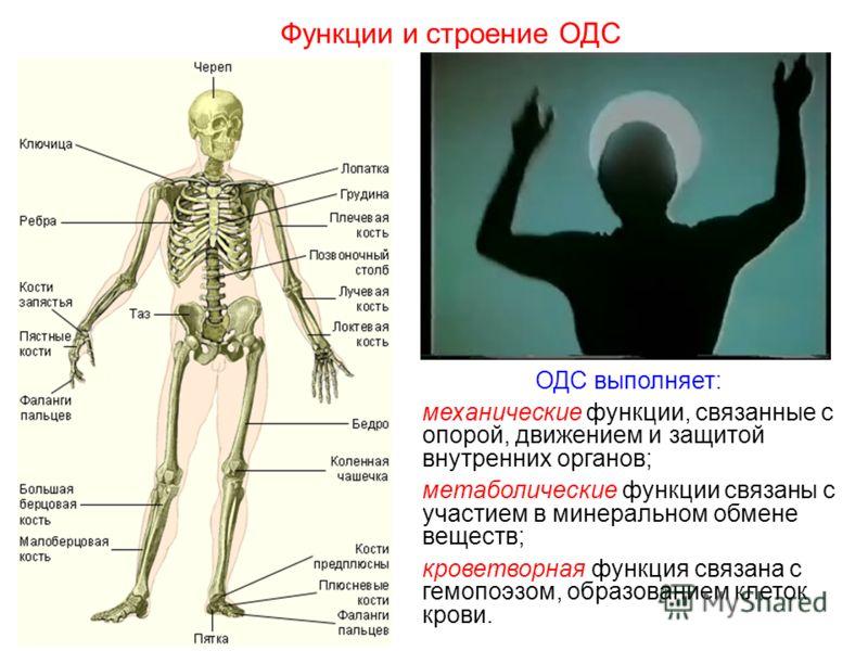 ОДС выполняет: механические функции, связанные с опорой, движением и защитой внутренних органов; метаболические функции связаны с участием в минеральном обмене веществ; кроветворная функция связана с гемопоэзом, образованием клеток крови. Функции и с