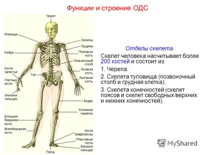 Отделы скелета. Скелет человека насчитывает более 200 костей и состоит из: 1. Черепа. 2. Скелета туловища (позвоночный столб и грудная клетка). 3. Скелета конечностей (скелет поясов и скелет свободных верхних и нижних конечностей). Функции и строение