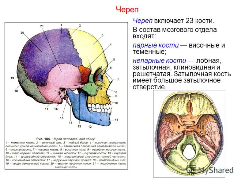 Череп включает 23 кости. В состав мозгового отдела входят: парные кости височные и теменные; непарные кости лобная, затылочная, клиновидная и решетчатая. Затылочная кость имеет большое затылочное отверстие. Череп