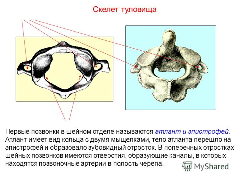 Первые позвонки в шейном отделе называются атлант и эпистрофей. Атлант имеет вид кольца с двумя мыщелками, тело атланта перешло на эпистрофей и образовало зубовидный отросток. В поперечных отростках шейных позвонков имеются отверстия, образующие кана