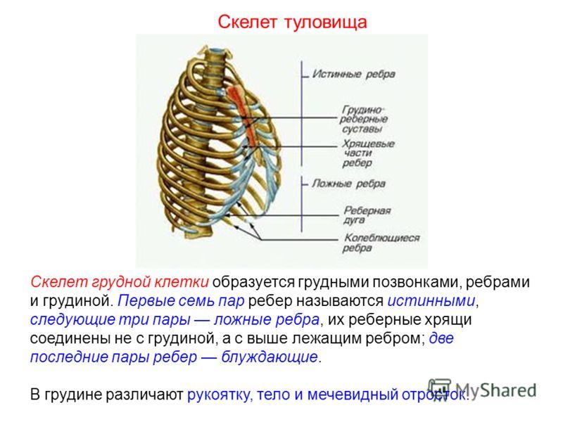 Скелет грудной клетки образуется грудными позвонками, ребрами и грудиной. Первые семь пар ребер называются истинными, следующие три пары ложные ребра, их реберные хрящи соединены не с грудиной, а с выше лежащим ребром; две последние пары ребер блужда