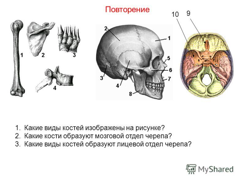 1.Какие виды костей изображены на рисунке? 2.Какие кости образуют мозговой отдел черепа? 3.Какие виды костей образуют лицевой отдел черепа? Повторение 9 10