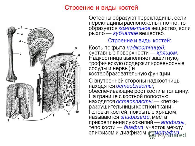 Строение и виды костей Остеоны образуют перекладины, если перекладины расположены плотно, то образуется компактное вещество, если рыхло губчатое вещество. Строение и виды костей: Кость покрыта надкостницей, суставные поверхности хрящом. Надкостница в