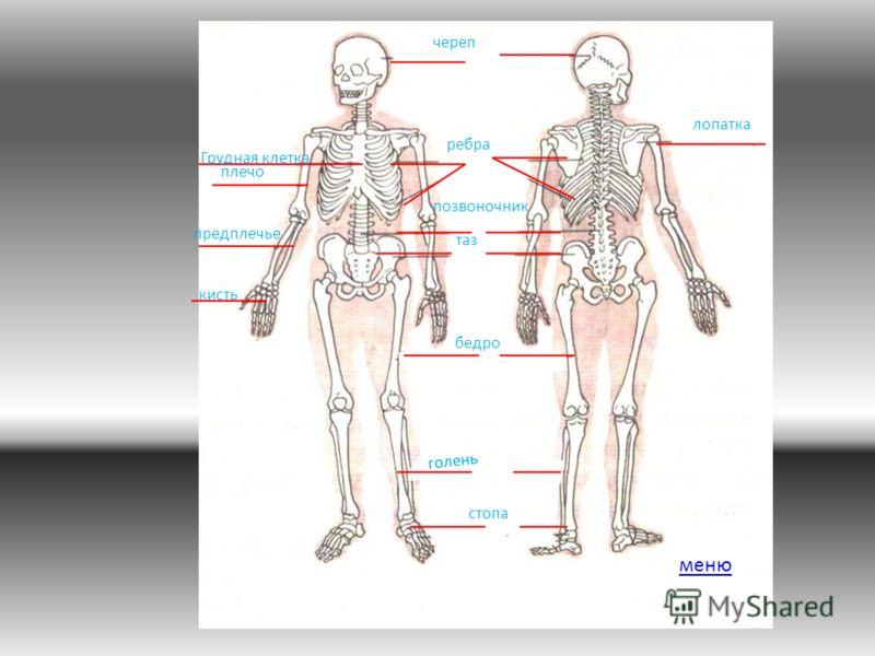 ребра череп позвоночник таз бедро стопа голень лопатка кисть предплечье плечо Грудная клетка меню