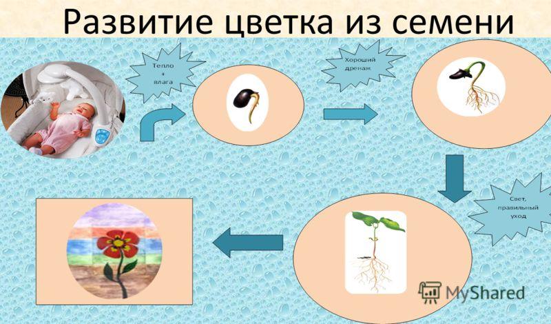 Развитие цветка из семени