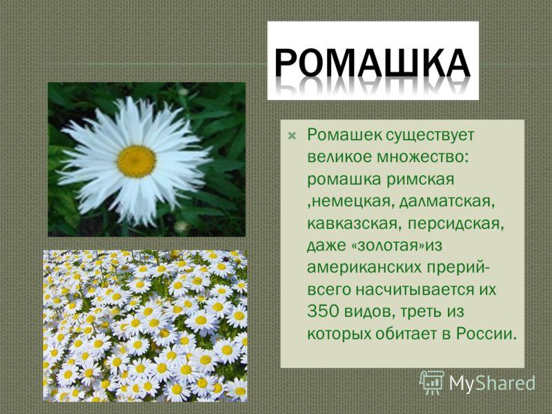 Ромашек существует великое множество: ромашка римская,немецкая, далматская, кавказская, персидская, даже «золотая»из американских прерий- всего насчитывается их 350 видов, треть из которых обитает в России.
