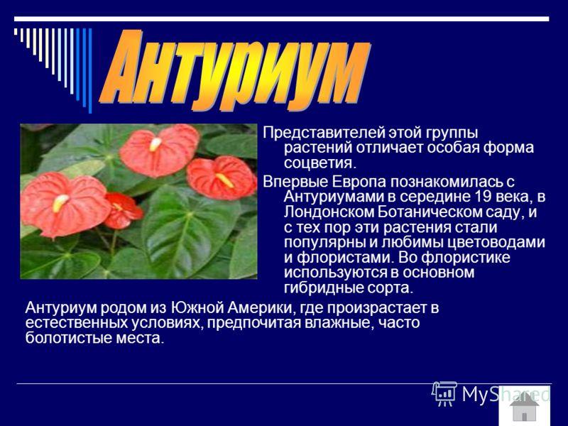 Представителей этой группы растений отличает особая форма соцветия. Впервые Европа познакомилась с Антуриумами в середине 19 века, в Лондонском Ботаническом саду, и с тех пор эти растения стали популярны и любимы цветоводами и флористами. Во флористи