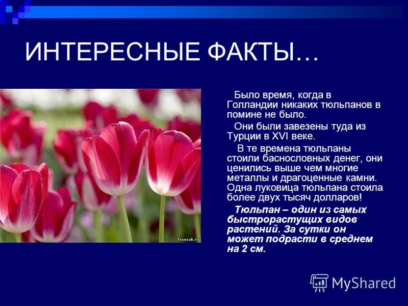 ИНТЕРЕСНЫЕ ФАКТЫ… Было время, когда в Голландии никаких тюльпанов в помине не было. Они были завезены туда из Турции в XVI веке. В те времена тюльпаны стоили баснословных денег, они ценились выше чем многие металлы и драгоценные камни. Одна луковица