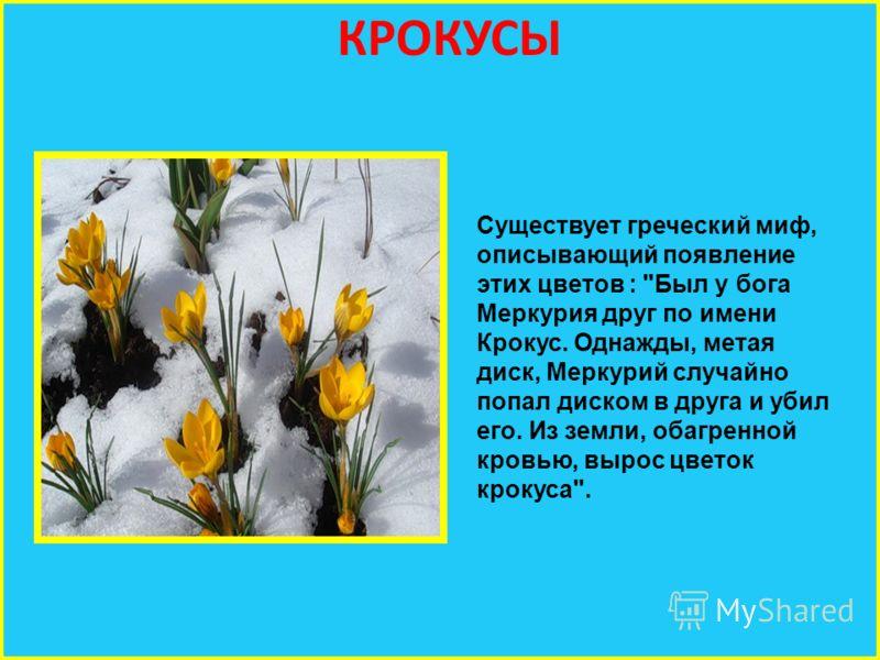 КРОКУСЫ Существует греческий миф, описывающий появление этих цветов : Был у бога Меркурия друг по имени Крокус. Однажды, метая диск, Меркурий случайно попал диском в друга и убил его. Из земли, обагренной кровью, вырос цветок крокуса.