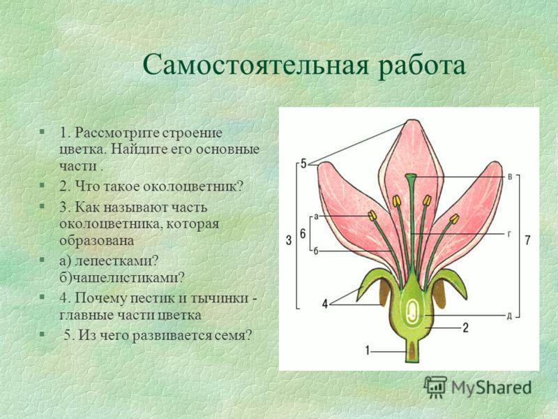 Самостоятельная работа §1. Рассмотрите строение цветка. Найдите его основные части. §2. Что такое околоцветник? §3. Как называют часть околоцветника, которая образована §а) лепестками? б)чашелистиками? §4. Почему пестик и тычинки - главные части цвет