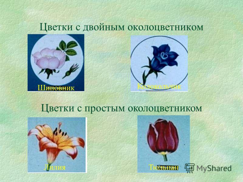 Цветки с двойным околоцветником Цветки с простым околоцветником Шиповник Колокольчик ТюльпанЛилия