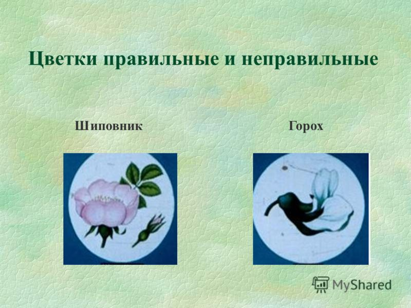 Цветки правильные и