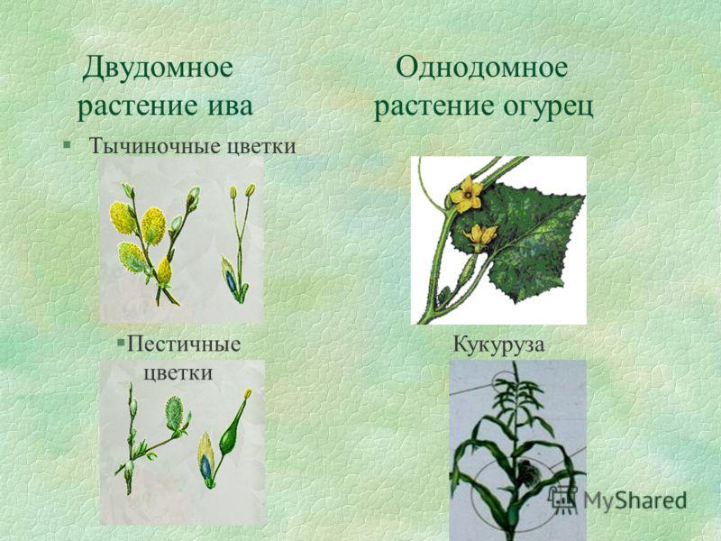 Двудомное Однодомное растение ива растение огурец §Тычиночные цветки §Пестичные цветки Кукуруза