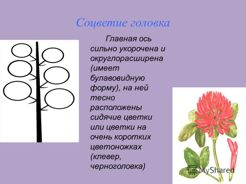 10 Соцветие головка Главная ось сильно укорочена и округлорасширена (имеет булавовидную форму), на ней тесно расположены сидячие цветки или цветки на очень коротких цветоножках (клевер, черноголовка)