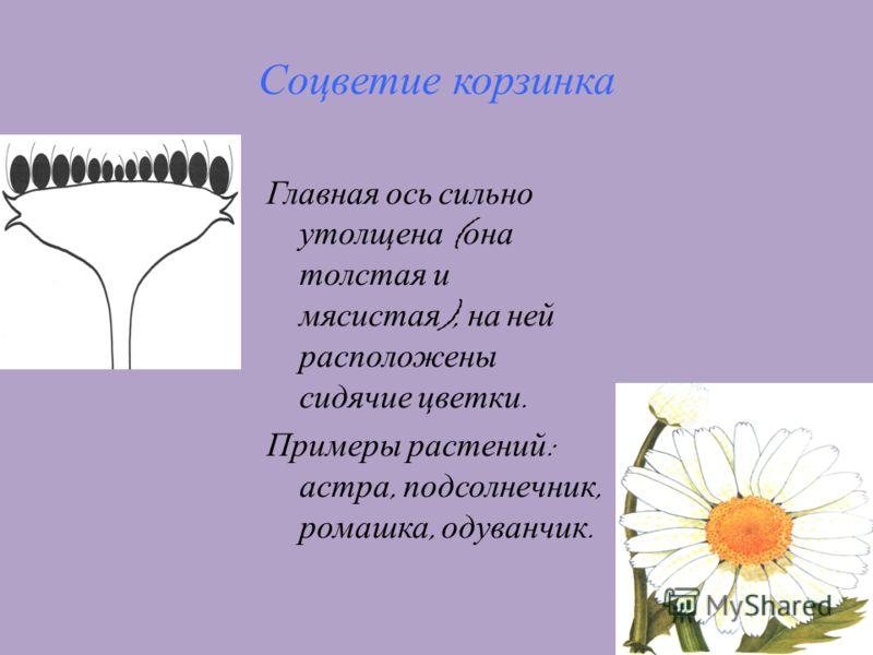 11 Соцветие корзинка Главная ось сильно утолщена ( она толстая и мясистая ), на ней расположены сидячие цветки. Примеры растений : астра, подсолнечник, ромашка, одуванчик.