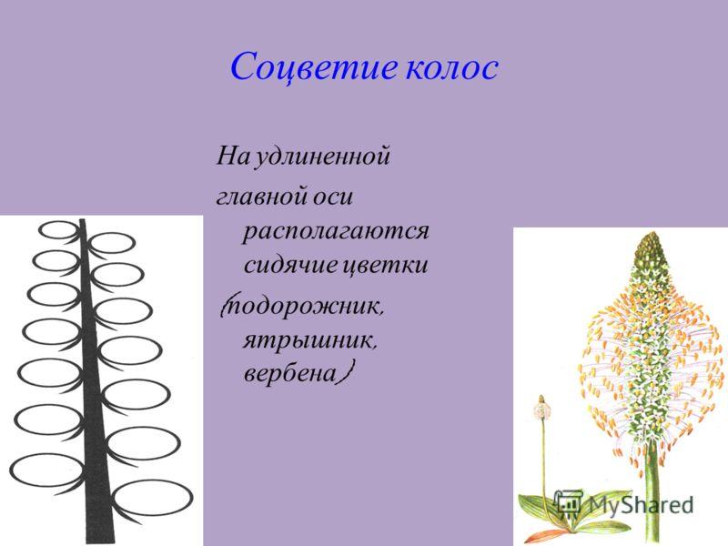 12 Соцветие колос На удлиненной главной оси располагаются сидячие цветки ( подорожник, ятрышник, вербена )