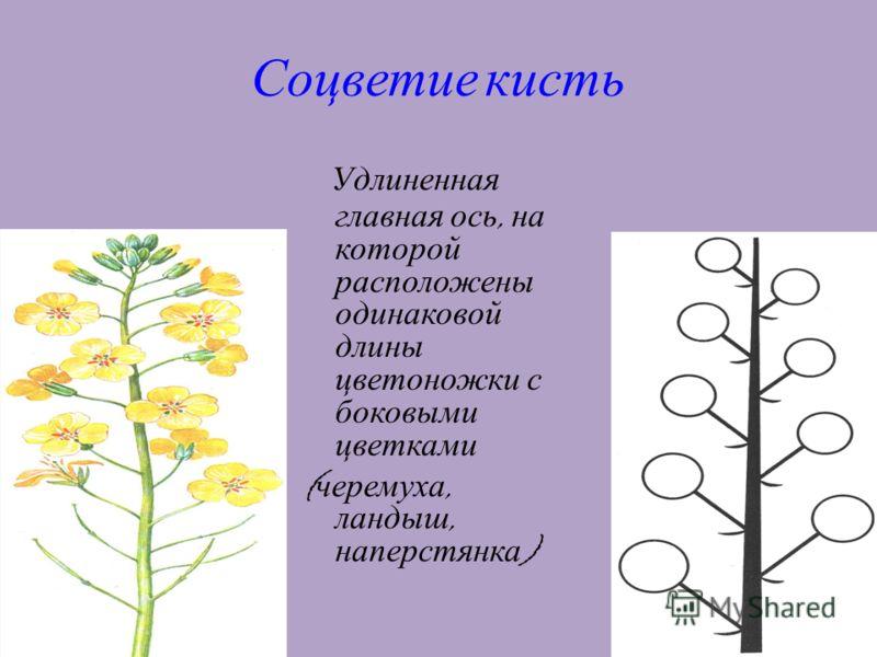 13 Соцветие кисть Удлиненная главная ось, на которой расположены одинаковой длины цветоножки с боковыми цветками ( черемуха, ландыш, наперстянка )