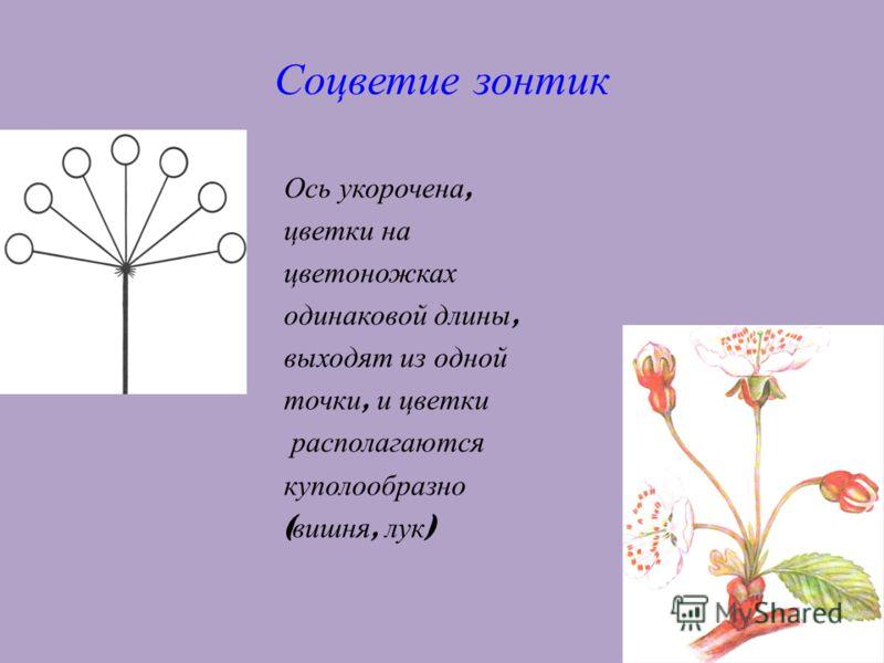 14 Соцветие зонтик Ось укорочена, цветки на цветоножках одинаковой длины, выходят из одной точки, и цветки располагаются куполообразно ( вишня, лук )