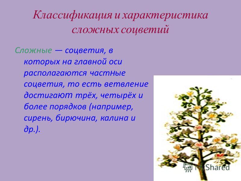 17 Классификация и характеристика сложных соцветий Сложные соцветия, в которых на главной оси располагаются част н ые соцветия, то есть ветвление достигa ют трёх, четырёх и более порядков (например, сирень, бирючина, калина и др.).