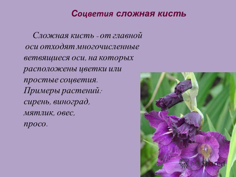 18 С оцветия сложная кисть Сложная кисть - от главной оси отходят многочисленные ветвящиеся оси, на которых расположены цветки или простые соцветия. Примеры растений : сирень, виноград, мятлик, овес, просо.