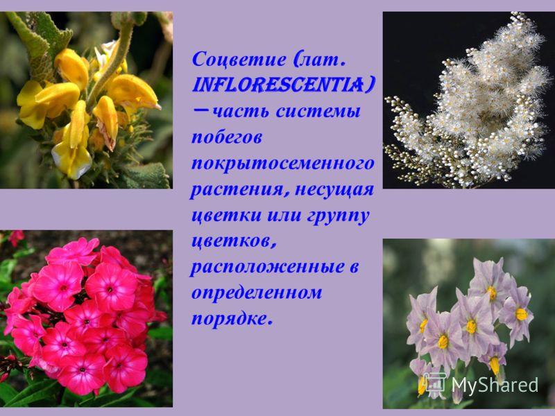 7 Соцветие ( лат. inflorescentia) часть системы побегов покрытосеменного растения, несущая цветки или группу цветков, расположенные в определенном порядке.