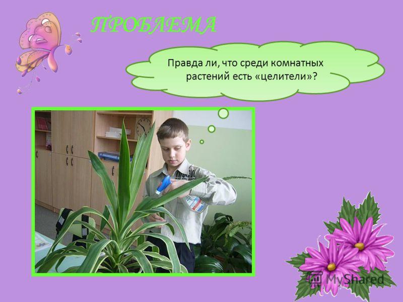 ПРОБЛЕМА Правда ли, что среди комнатных растений есть «целители»?