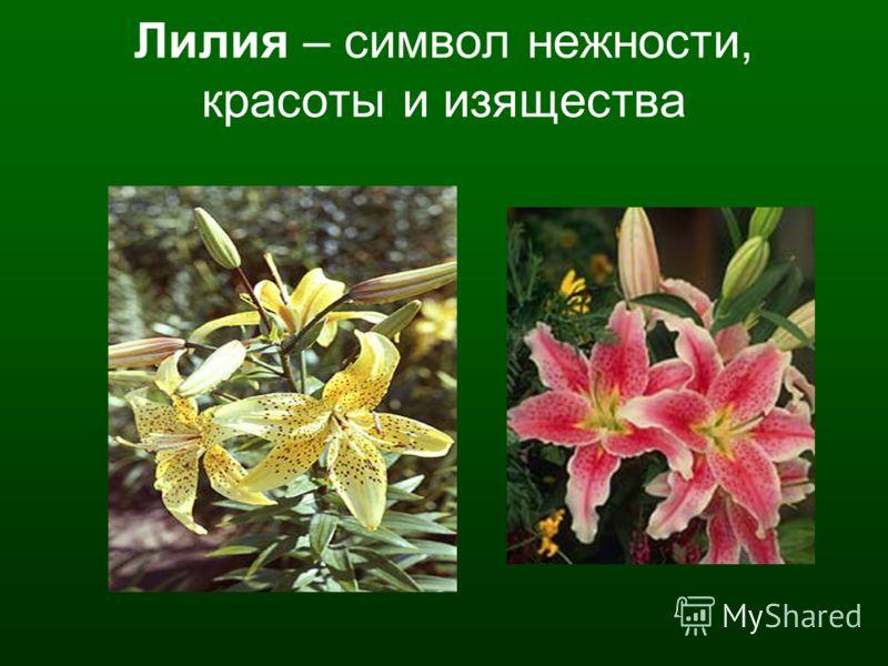Лилия – символ нежности, красоты и изящества