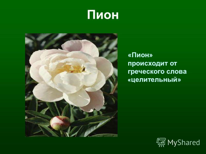 Пион «Пион» происходит от греческого слова « целительный»