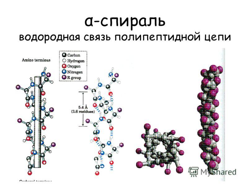α-спираль водородная связь полипептидной цепи