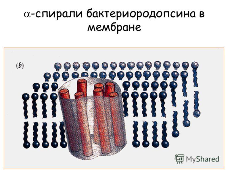 -спирали бактериородопсина в мембране