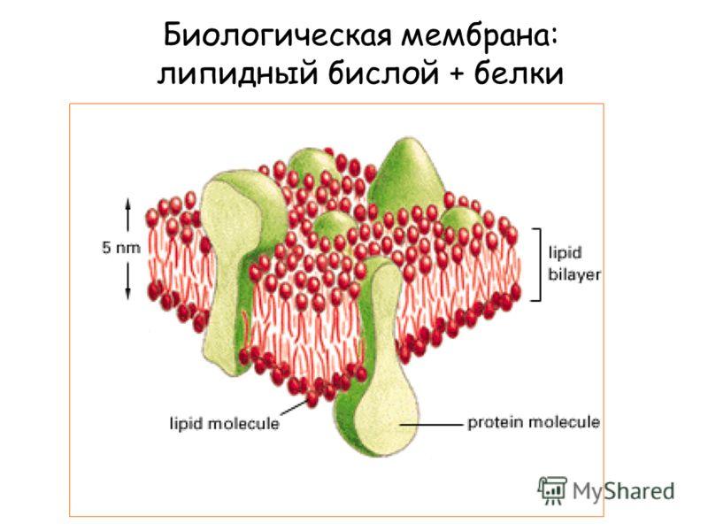 Биологическая мембрана: липидный бислой + белки