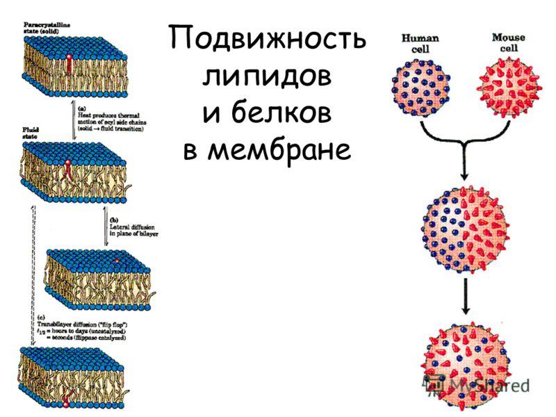 Подвижность липидов и белков в мембране
