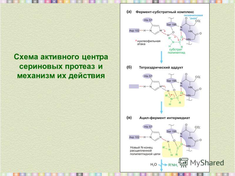 Схема активного центра сериновых протеаз и механизм их действия