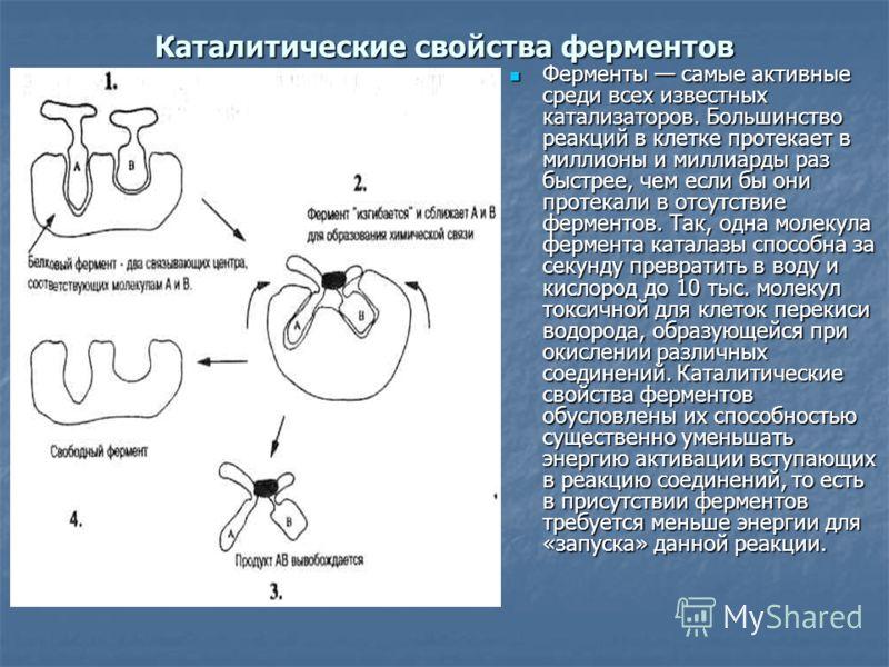 Каталитические свойства ферментов Ферменты самые активные среди всех известных катализаторов. Большинство реакций в клетке протекает в миллионы и миллиарды раз быстрее, чем если бы они протекали в отсутствие ферментов. Так, одна молекула фермента кат
