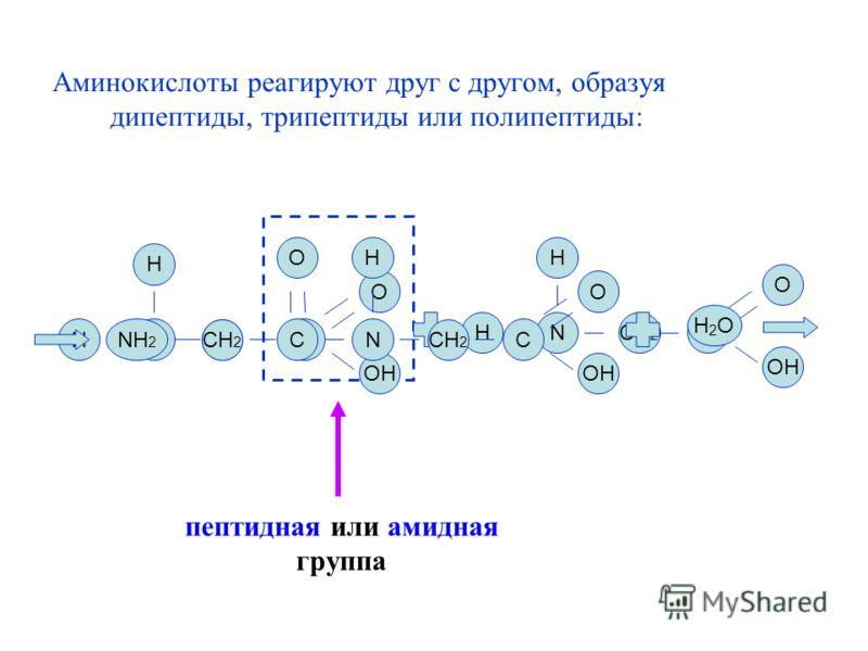 Аминокислоты реагируют друг с другом, образуя дипептиды, трипептиды или полипептиды: N СН 2 C OH O H H N СН 2 C OH O H H NH 2 СН 2 C O N H C OH O H2OH2O пептидная или амидная группа
