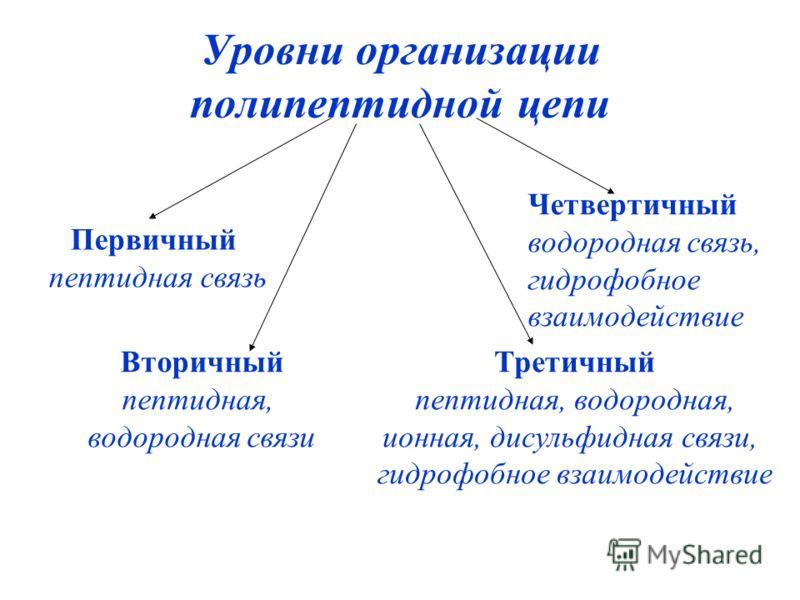 Уровни организации полипептидной цепи Первичный пептидная связь Вторичный пептидная, водородная связи Третичный пептидная, водородная, ионная, дисульфидная связи, гидрофобное взаимодействие Четвертичный водородная связь, гидрофобное взаимодействие