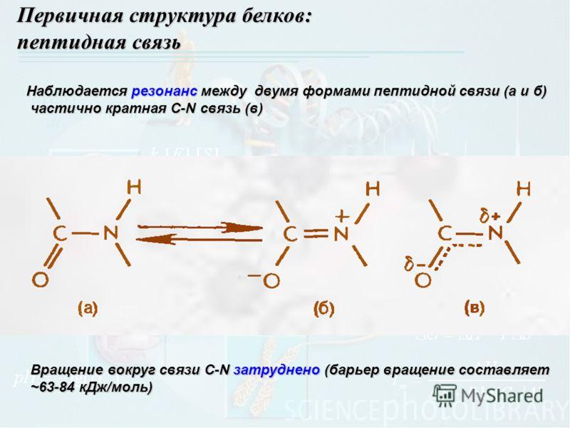 Первичная структура белков: пептидная связь Наблюдается резонанс между двумя формами пептидной связи (а и б) частично кратная С-N связь (в) частично кратная С-N связь (в) Вращение вокруг связи C-N затруднено (барьер вращение составляет ~63-84 кДж/мол