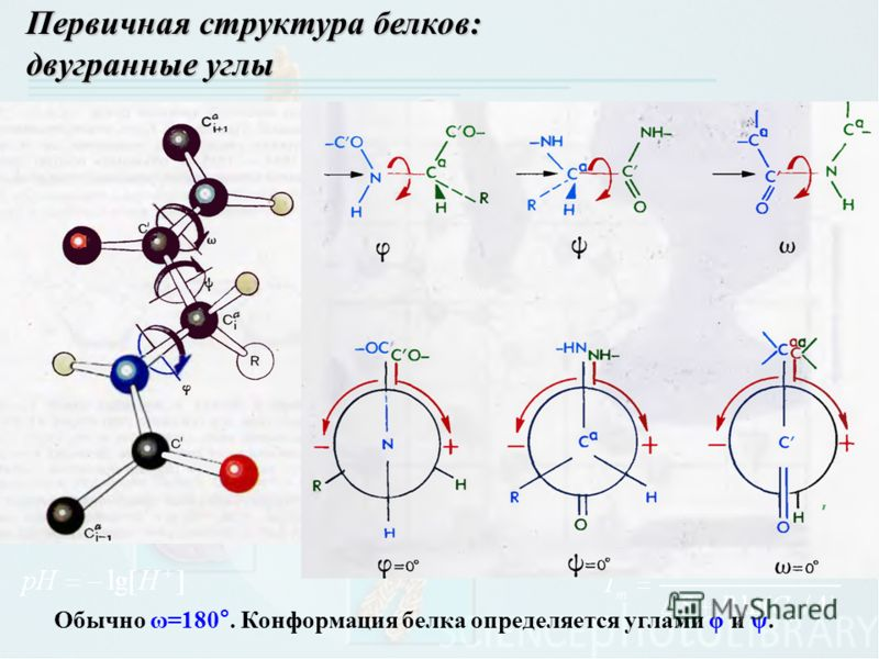 Первичная структура белков: двугранные углы Обычно ω=180°. Конформация белка определяется углами φ и ψ.