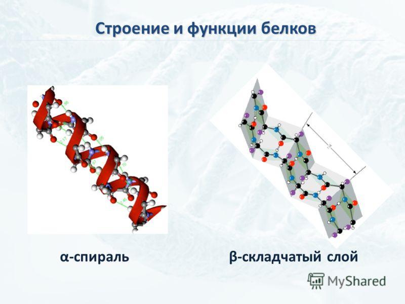 Строение и функции белков α-спиральβ-складчатый слой