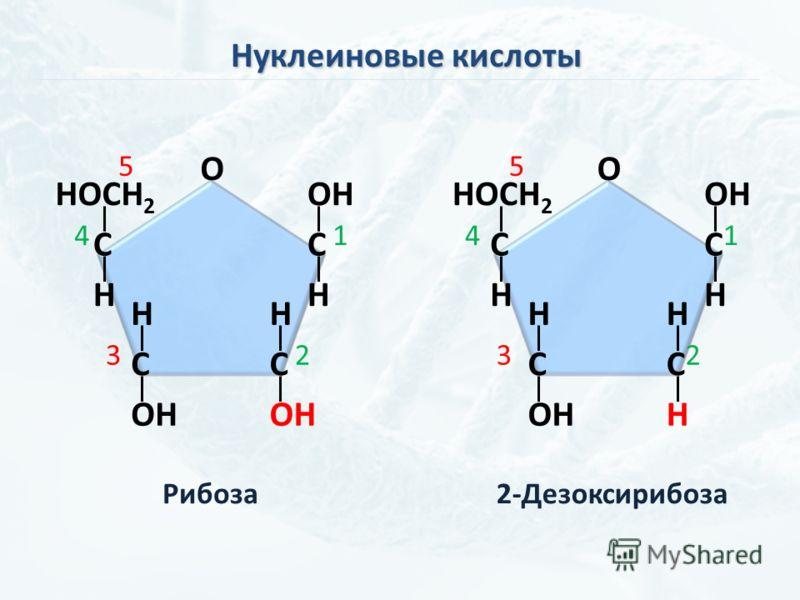 Нуклеиновые кислоты C OH H C H C H C H HOCH 2 O 1 23 4 5 C OH H C H H C H C H HOCH 2 O 1 23 4 5 Рибоза2-Дезоксирибоза