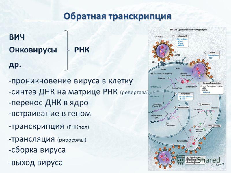 Обратная транскрипция ВИЧ ОнковирусыРНК др. -проникновение вируса в клетку -синтез ДНК на матрице РНК (ревертаза) -встраивание в геном -перенос ДНК в ядро -транскрипция (РНКпол) -сборка вируса -трансляция (рибосомы) -выход вируса