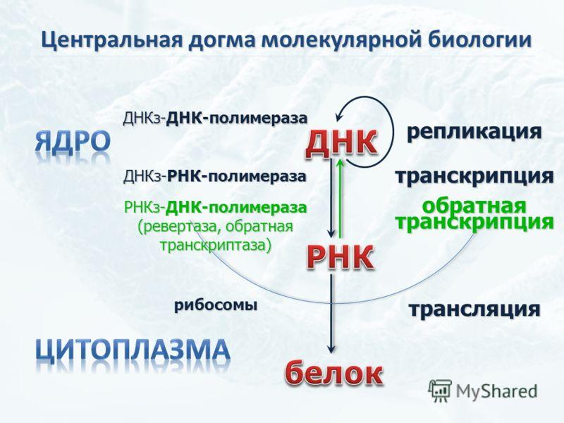 репликация обратнаятранскрипция трансляция транскрипция ДНКз-ДНК-полимераза РНКз-ДНК-полимераза (ревертаза, обратная транскриптаза) рибосомы ДНКз-РНК-полимераза